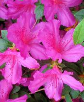 Formosa azaleas